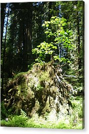 New Life For Old Stump Acrylic Print by Suzanne McKay