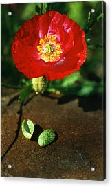 New Red Poppy Acrylic Print by Robert Lozen