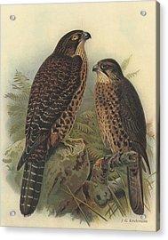 New Zealand Falcon Acrylic Print by Rob Dreyer