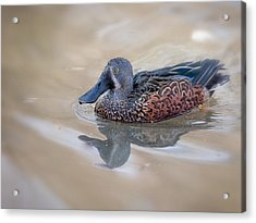 Acrylic Print featuring the photograph New Zealand Shoveler by Tyson and Kathy Smith
