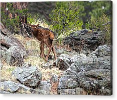 Acrylic Print featuring the photograph Newborn Elk Calf by Shane Bechler