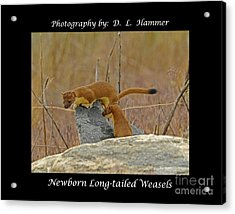 Newborn Long-tailed Weasels Acrylic Print by Dennis Hammer