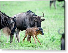 Newborn Wildebeest Calf Acrylic Print