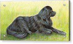 Newfoundland Dog Acrylic Print by Ruth Seal