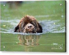 Newfoundland Dog, Swimming In River Acrylic Print