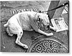 Newsworthy Dog In French Quarter Black And White Acrylic Print by Kathleen K Parker