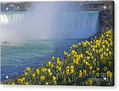 Niagara Falls Daffodils Acrylic Print by Charline Xia