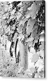 Niagara Grapes No.2 Acrylic Print