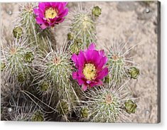 Nice And Prickly Acrylic Print by Gerald Dobbin