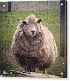 Acrylic Print featuring the photograph Nice To Meet Ewe by Penni D'Aulerio