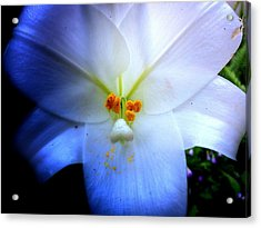 Night And Day Lilly  Acrylic Print
