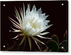 Acrylic Print featuring the photograph Night Beauty by Cindy McDaniel