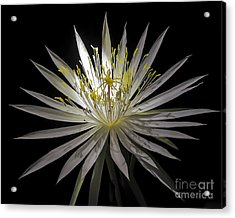 Night-blooming Cereus 1 Acrylic Print