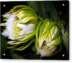 Night Blooming Cereus 31 Acrylic Print by Dawn Eshelman