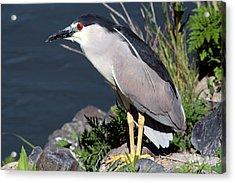 Night Heron Bird Acrylic Print by Diane Rada