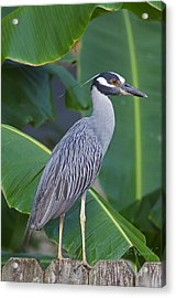 Night Heron Acrylic Print by Cheri Randolph