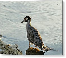 Night Heron Acrylic Print by Cindy Croal