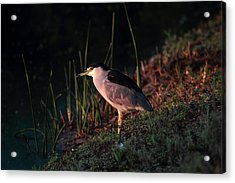 Night Heron  Acrylic Print