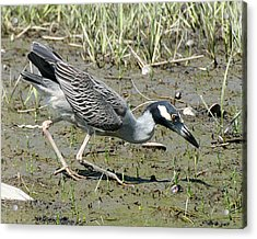 Night Heron Feeding Acrylic Print