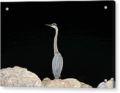 Night Of The Blue Heron 2 Acrylic Print by Anthony Baatz