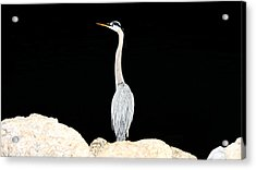 Night Of The Blue Heron  Acrylic Print by Anthony Baatz