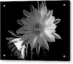 Nightblooming Cereus Cactus Flower Acrylic Print
