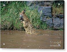 Nile Crocodile Acrylic Print by Art Wolfe