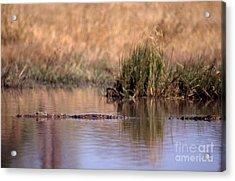 Nile Crocodile Acrylic Print by Gregory G. Dimijian, M.D.