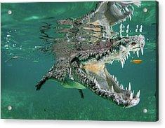 Nino The Croc Acrylic Print