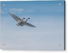 Acrylic Print featuring the photograph Trumpeter Swan Tandem Flight I by Patti Deters