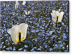 Acrylic Print featuring the photograph No More Tulips by Simona Ghidini