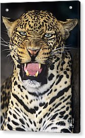 No Solicitors African Leopard Endangered Species Wildlife Rescue Acrylic Print by Dave Welling