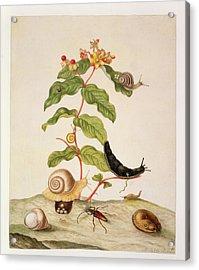 Hypericum Baxiforum Acrylic Print by Maria Sibylla Graff Merian