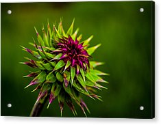 Acrylic Print featuring the photograph Nodding Spines by Rhys Arithson