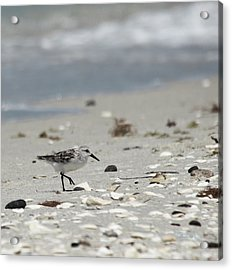 Nokomis Beach Piper Acrylic Print