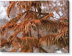 Norfolk Island Pine (a. Heterophylla) Acrylic Print by Dr. Nick Kurzenko