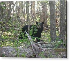 North American Black Bear Acrylic Print by Michael Wawrzyniec
