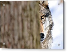 Acrylic Print featuring the photograph North American Gray Wolf Behind Tree by Dan Friend