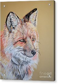 North American Red Fox Acrylic Print by Ann Marie Chaffin