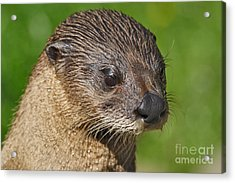 North American River Otter Acrylic Print by Lynne Sutherland