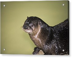 North American River Otter Acrylic Print by Sally Mccrae Kuyper/science Photo Library
