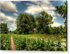 North Carolina Tobacco Farm Acrylic Print