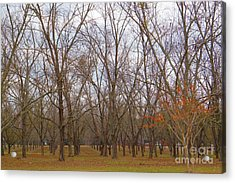 North Florida Orchard In Fall Acrylic Print