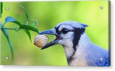 Northern Blue Jay Acrylic Print