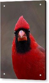 Northern Cardinal - 6393 Acrylic Print