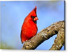 Northern Cardinal Acrylic Print by Christina Rollo