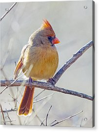 Northern Cardinal Female Acrylic Print