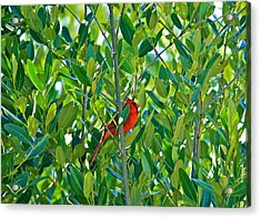 Northern Cardinal Hiding Among Green Leaves Acrylic Print by Cyril Maza