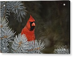 Northern Cardinal In Spruce Tree Acrylic Print