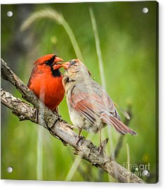 Northern Cardinal Male And Female Acrylic Print